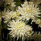 White upon White   (white Dhalia flowers) by Karen  Betts