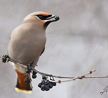 Berry Profile of a Waxwing by DigitallyStill