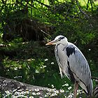 Grey Herron by MacsfieldImages