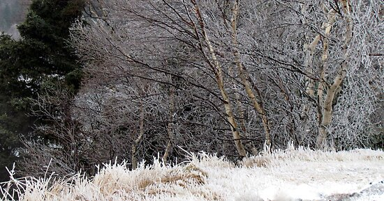 Iced Birches - Ice Storm 12.31.10 by loralea