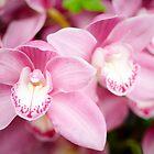 Pink Cymbidium Orchid by Oscar Gutierrez