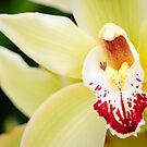 Pale Yellow Cymbidium Orchid by Oscar Gutierrez