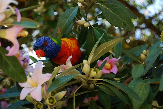 Lorikeet by Ron Hannah