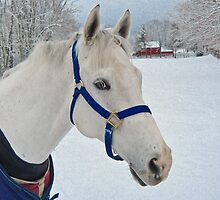 White horse on a snowy day by Donna Kaik