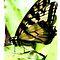Bicolor Butterflies