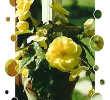 Yellow Begonias by teresa731