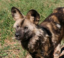 African Wild Dog by Deb22