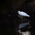 Egret by Country  Pursuits