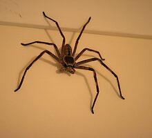 Australian Huntsman Spider by aussiebushstick