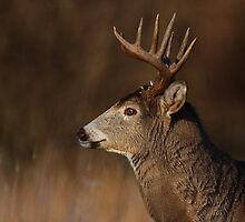 Focus...focus - White-tailed Deer by Jim Cumming
