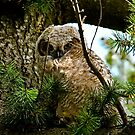 Great Horned  Owl baby by Kirk Photography                      Kirk Friederich