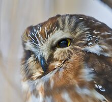 saw whet owl by jamesmcdonald