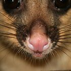 Possum's Cute Pink Nose by aussiebushstick
