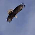 The Lone Eagle in the Big Blue Sky by tcat757
