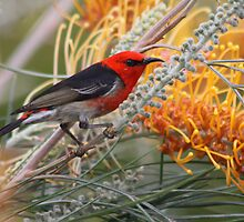 Scarlet Honeyeater by triciaoshea