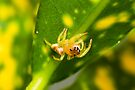 Garden Jumping Spider - Opisthoncus parcedentatus by Normf