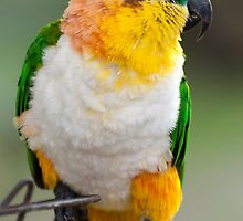 Caique parrot by Dave Hayward