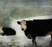 Bovine Beauty by hampshirelady