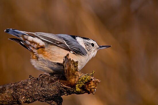 White Breasted Nuthatch by Michael Cummings