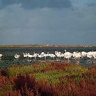 Greater Flamingos, Lagune de Korba by mariarty