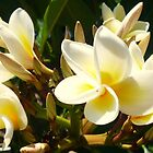 Frangipani Delight by ange2