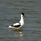 Avocet by Trevor Kersley