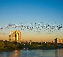 Black Ribbon - The Austin Bats by Doug Graybeal