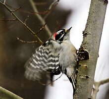 Downy Woodpecker taking wing by amontanaview