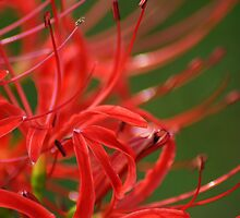 Red Spider Lily by crystalseye