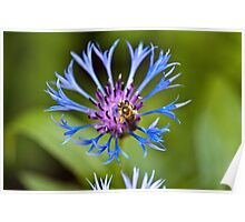 The bee and the Cornflower Poster