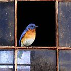 broken pane / eastern bluebird  by R Christopher  Vest