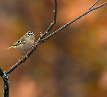 Golden-crowned Kinglet by Heather Pickard