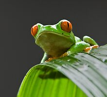 Red-eyed Tree Frog by Raymond J Barlow