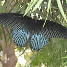 Beautiful Royal Blue Butterfly by BonEll