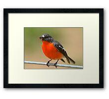 """"""" Flame Robin """" Framed Print"""