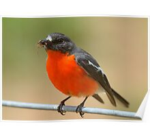 """"""" Flame Robin """" Poster"""