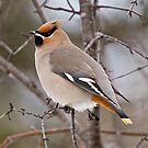 Bohemian Waxwing by Michael Cummings