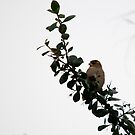 Tree Sparrow by mickeyb