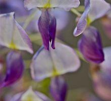 My garden - Wisteria sinensis (Chinese Wisteria) . by Andrzej Goszcz . Favorites: 3 Views: 622 .Thanks !!! by © Andrzej Goszcz,M.D. Ph.D