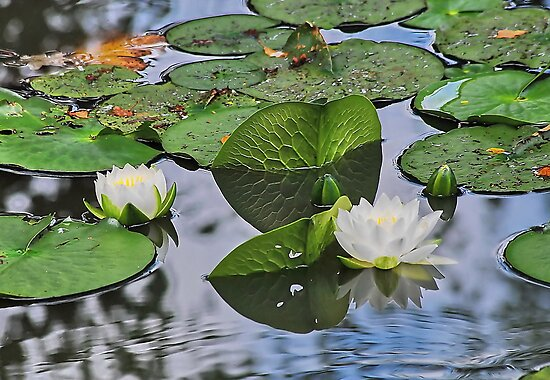 Lilies and Pads by relayer51