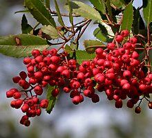 Pyracanthia Berries by Patty Boyte