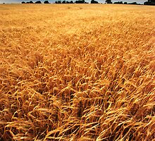 Field of Gold by Christopher Cullen