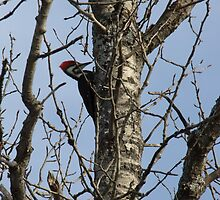 Pileated Woodpecker- Dryocopus pileatus by Tracy Faught