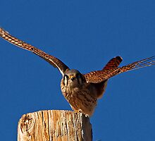 011411 American Kestrel by Marvin Collins