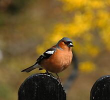 Cheeky Chaffinch by Paul Bettison