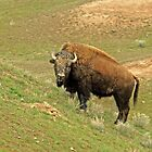 Bison's Facial by Rodney55
