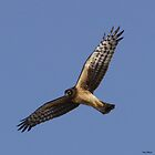 Northern Harrier by Dennis Cheeseman