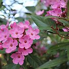 Pink blooming shrub by Susan Moss