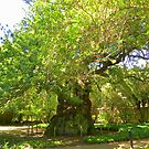 Oldest living oak in South Africa by Pieta Pieterse