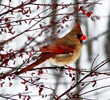 Female Cardinal  by Marcia Rubin